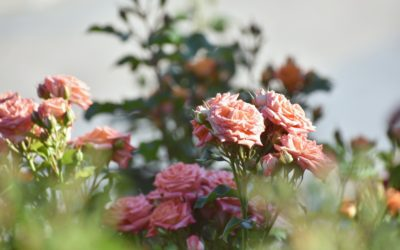 Fun Ideas For Landscaping With Roses