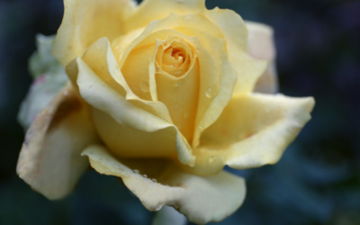 Benefits of Growing a Rose Garden